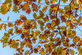 Autumn Oak Leaves Royalty Free Stock Photo