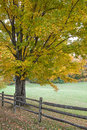 Autumn oak tree and fence leaves on in turn colors Royalty Free Stock Image