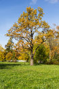 Autumn oak tree in the park Royalty Free Stock Photo