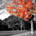 Autumn orange leaves blackandwhite colorsplash Stock Photography