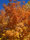 Autumn orange tree an displays colors of yellow and gold against a blue sky Royalty Free Stock Image