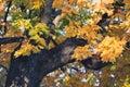 Autumn orange vivid mapple tree leaves Royalty Free Stock Photo