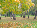Autumn in the park maple front and birches at background Royalty Free Stock Photography