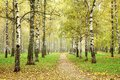 Autumn pathway in october morning mist birch grove beautiful Royalty Free Stock Images