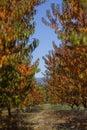 Autumn Peach Garden Royalty Free Stock Photo