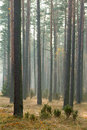 Autumn pine forest Stock Photos