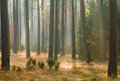 Autumn pine forest Royalty Free Stock Photos