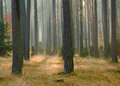 Autumn pine forest Royalty Free Stock Photo