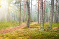 Autumn pine forest road in utumn nature composition Stock Images