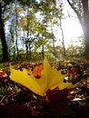 Autumn planetree leaf felt on the forest ground Royalty Free Stock Photography