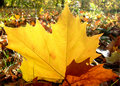 Autumn planetree leaf felt on the forest ground Royalty Free Stock Photos