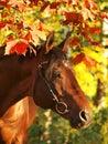 Autumn portrait of the horse Stock Images