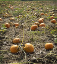 Autumn pumpkin patch Royaltyfri Foto