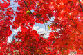 Autumn red leaf background of leaves against an outdoor blue sky in the fall Royalty Free Stock Photos