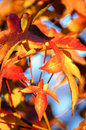 Autumn red leaves on the tree in Royalty Free Stock Photo