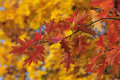 Autumn red leaves on yellow fall background Royalty Free Stock Photo