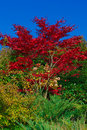 Autumn - Red Maple Royalty Free Stock Photography