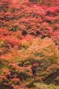 Autumn red maple tree in mountain Royalty Free Stock Photo