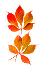 Autumn red and yellow leaves isolated on white background Royalty Free Stock Photo
