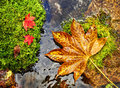 Autumn red and yellow leaves on moss srones wild river stones maple leaf fall foliage seasonal scene macro Stock Images