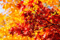 Autumn Redness Royalty Free Stock Photo