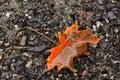 Autumn regards leaf on the ground Royalty Free Stock Photo