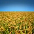 Autumn rice field Stock Photos