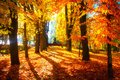 Autumn scene. Bright colorful landscape yellow trees in autumn park. Fall Royalty Free Stock Photo