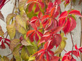 Autumn scene spectacular colors of ivy in Stock Photo