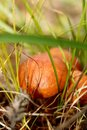 Forest edible mushrooms Oily in soft focus on a natural blurred background Royalty Free Stock Photo