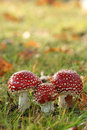 Autumn scene: three toadstools Royalty Free Stock Image