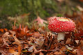 Autumn scene: toadstool in a field of leafs Stock Photo