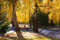 Autumn scenery, golden birch trees Stock Photos