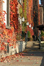 Autumn scenery wall covered by red ivy Stock Photos