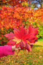 Autumn season leaves colorful maple in childish hand background Stock Photos