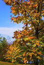 Autumn sky closeup of maple tree with other colorful trees and blue in the background Stock Photos