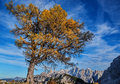 Autumn solitary larch on mt sleme with mt spik and mt skrlatica behind Royalty Free Stock Photography