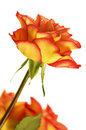 Autumn splendor rose fire flower Stock Photos