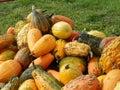 Autumn squash in columbus bartholomew county indiana Royalty Free Stock Image