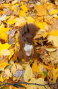 Autumn squirrel in golden leaves background Royalty Free Stock Photography