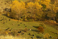 Autumn in stara planina this is a mountain in bulgaria herd of cows worm colors mountain path and little mountain river paint this Royalty Free Stock Photo