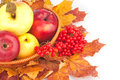 Autumn still life basket with apples ash berry and maple leaves Stock Image