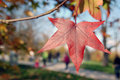Autumn sunday afternoon in a park on sunny when sweetgum leaves turn to red people take walk Royalty Free Stock Photography