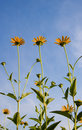 Autumn of sunflowers under the blue sky Royalty Free Stock Photography