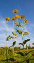 Autumn of sunflowers under the blue sky Royalty Free Stock Photo