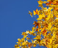 Autumn Sycamore Leaves Royalty Free Stock Images