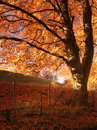 Autumn tree afire with evening color Royalty Free Stock Photography