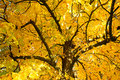 Autumn tree branches Royalty Free Stock Photo