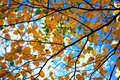 Autumn tree branches Stock Photo