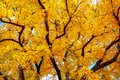 autumn tree with bright yellow leaves. Royalty Free Stock Photo